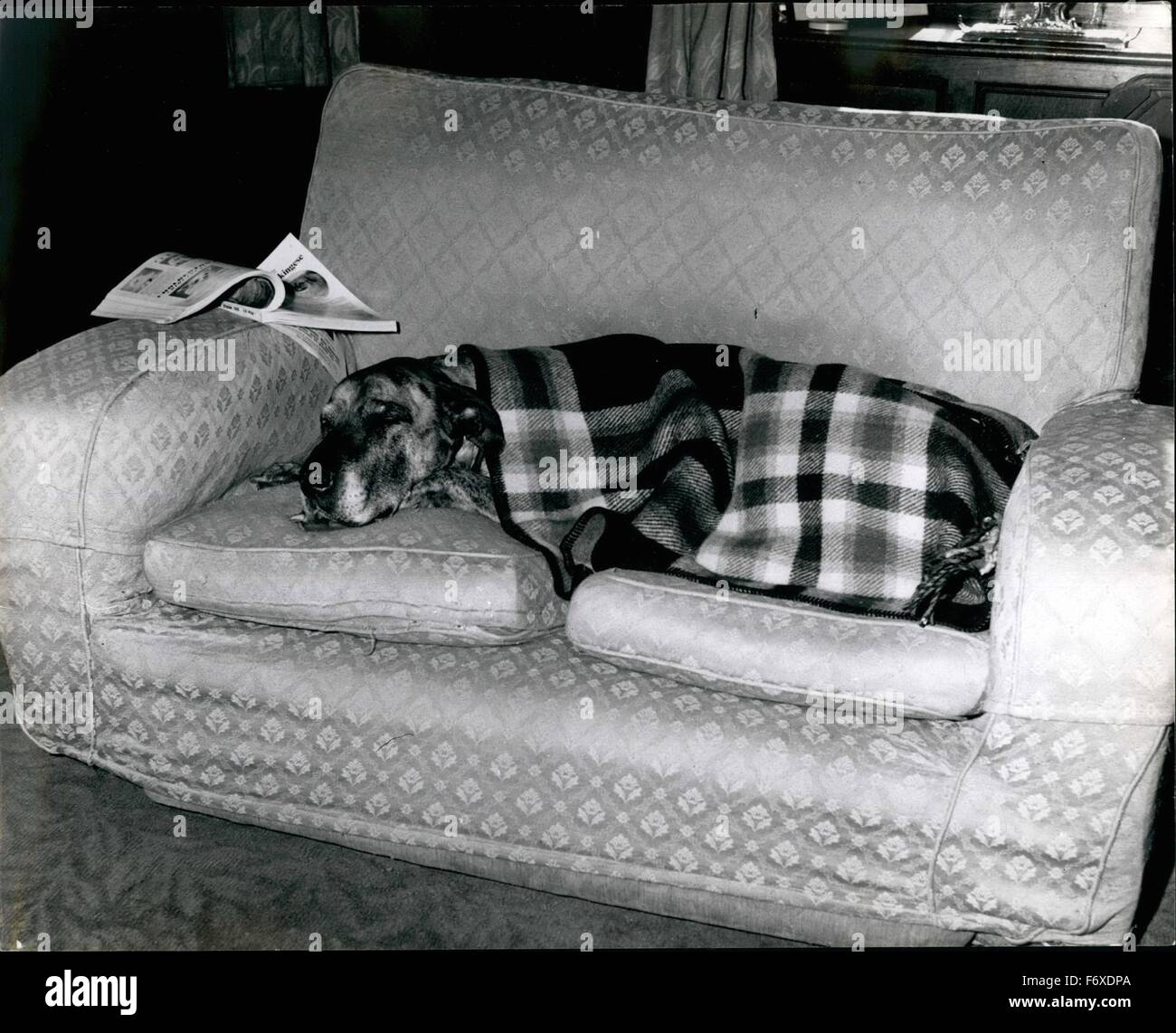 1962 - Goodnight: Canine filmstar juno has her own settees in each room of her Hertfordshire home. © Keystone - Stock Image