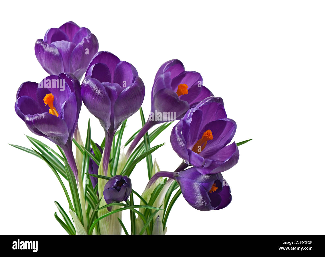 Spring bouquet of purple crocuses isolated on white background - Stock Image