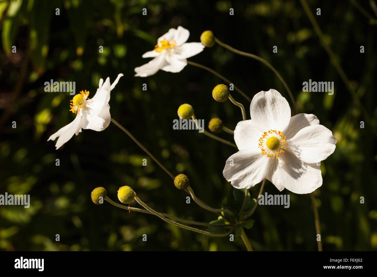 White flowers with yellow centers stock photos white flowers with white flowers with yellow centers flowering on isles of scilly stock image mightylinksfo
