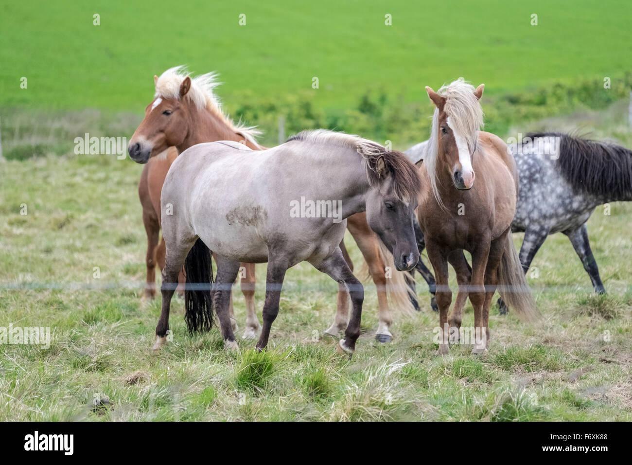 Horses in pastureland, Livestock, Iceland - Stock Image