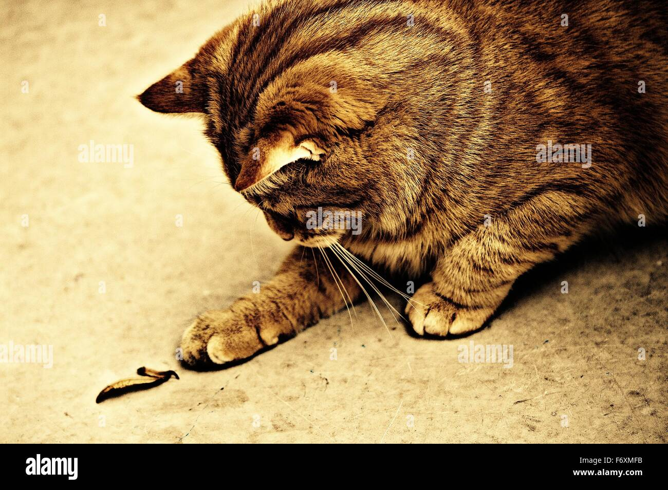 Tabby cat outside looking down and curious at a tiny leaf on the ground - Stock Image