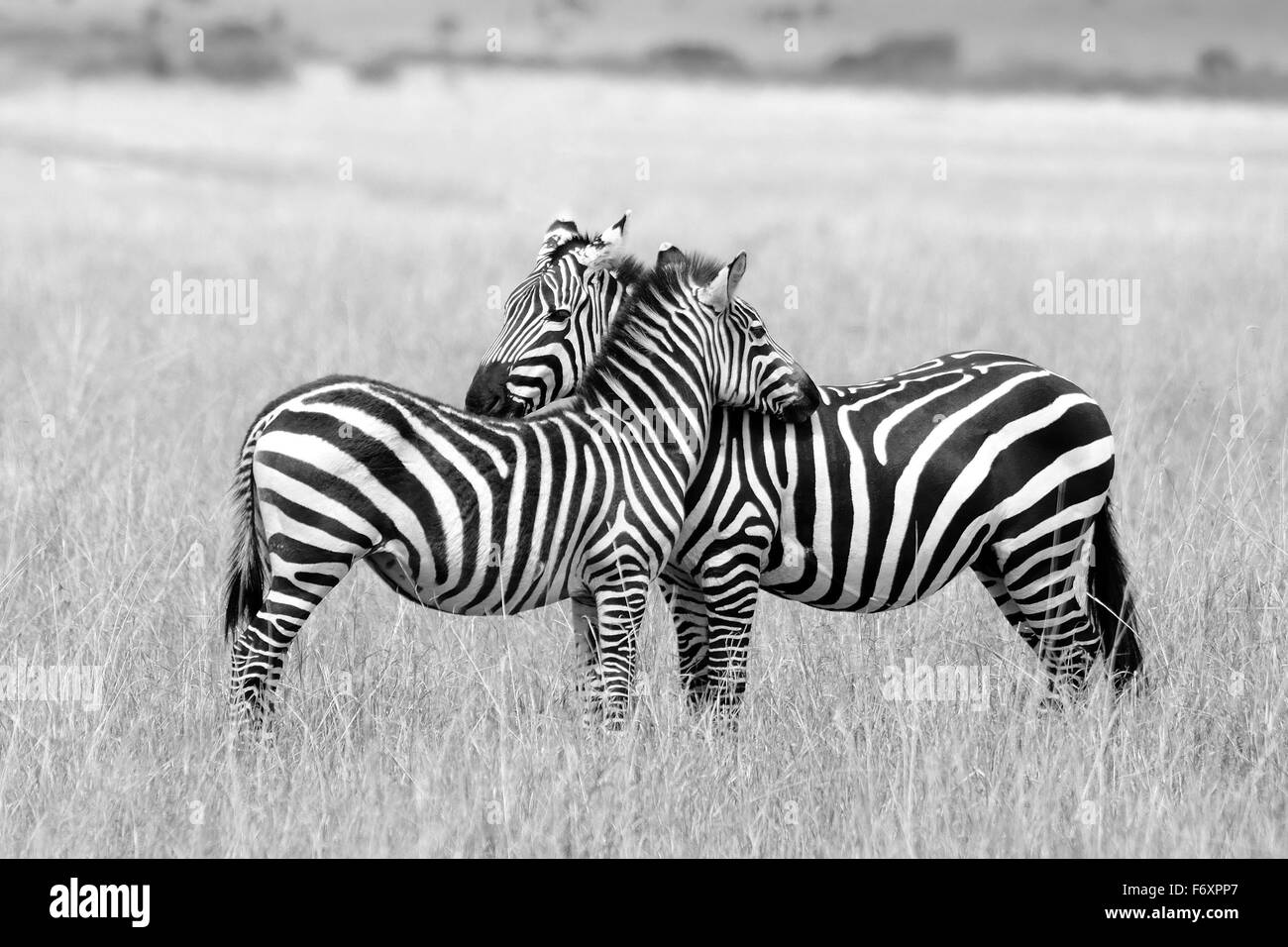 Two Zebras, mother and her cub near in the savanna of Masai Mara Reserve - Stock Image