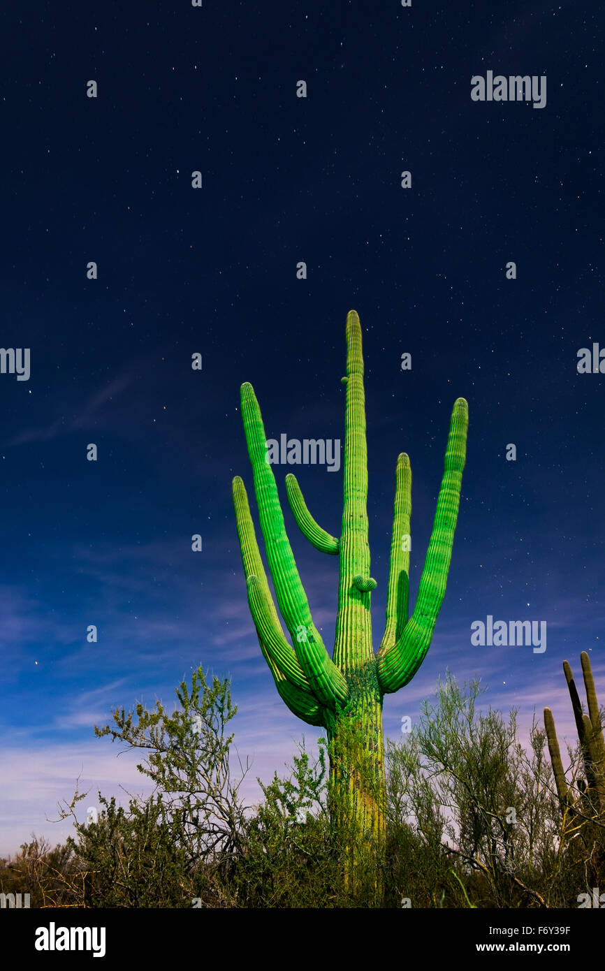 A green saguaro cactus is highlighted against a starry sky in Saguaro National Park, Tucson, Arizona - Stock Image