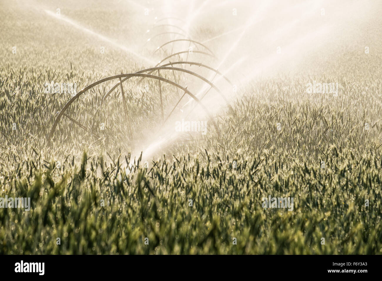The early morning sun shines on a wheat field as it's being watered. - Stock Image