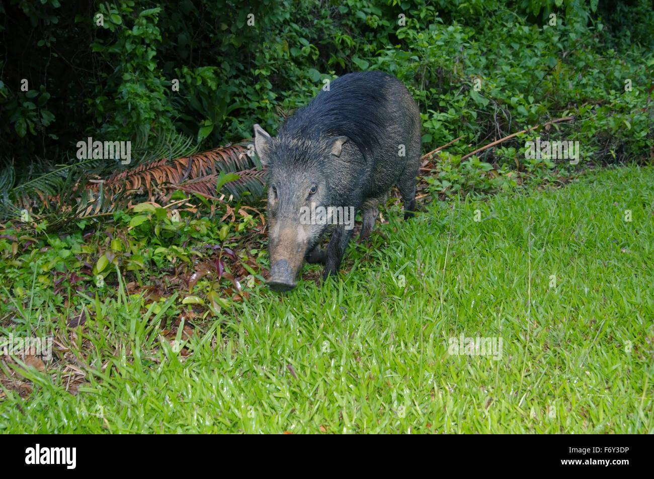 Wild boar, wild swine or Eurasian wild pig (Sus scrofa), Malaysia - Stock Image
