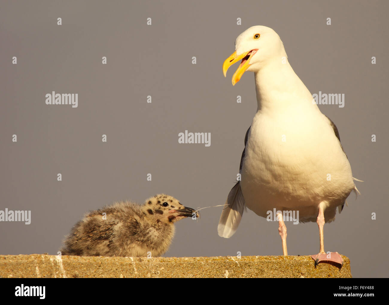A baby Western Gull tugging on its parent's tail and getting a response. - Stock Image