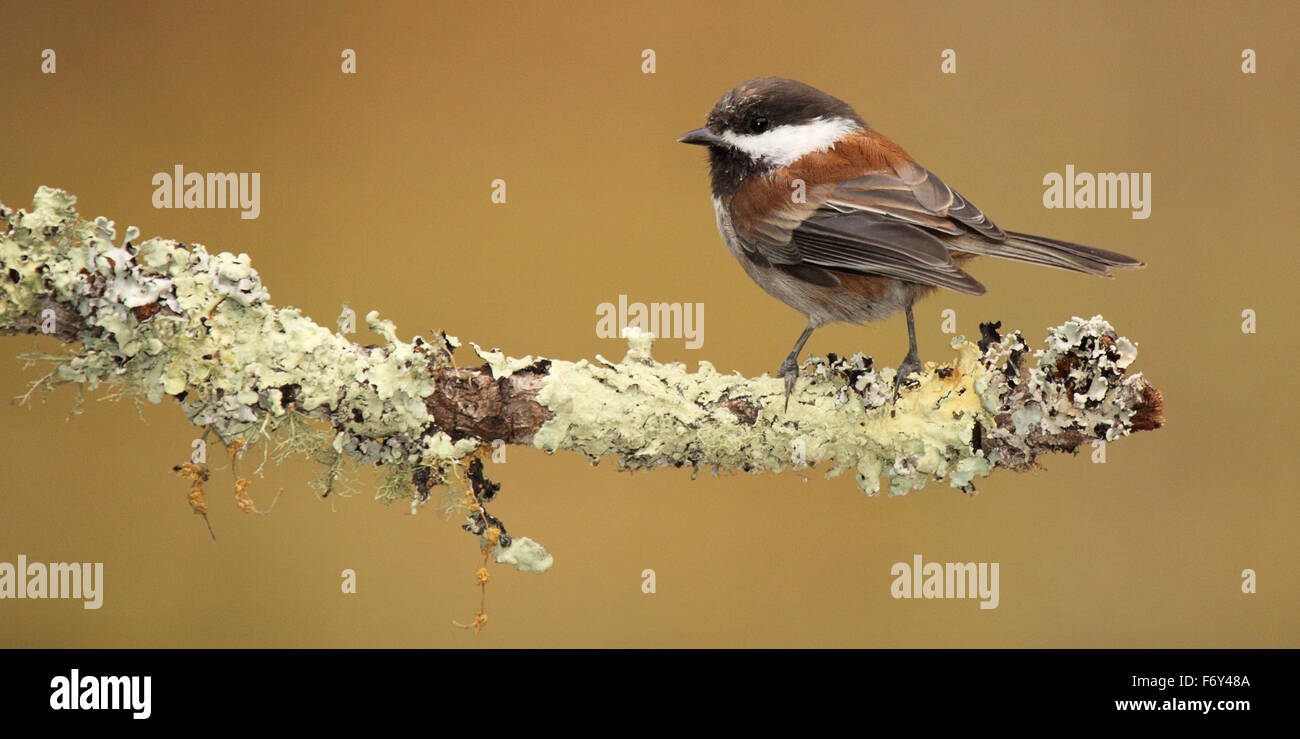 A Chestnut-backed Chickadee on a long perch. - Stock Image