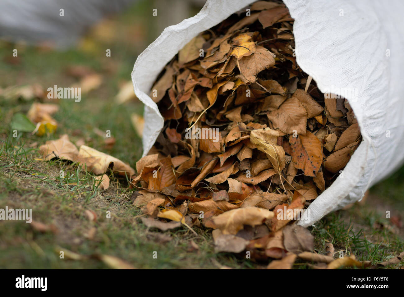 Bag full of dry Autumn leaves - Stock Image