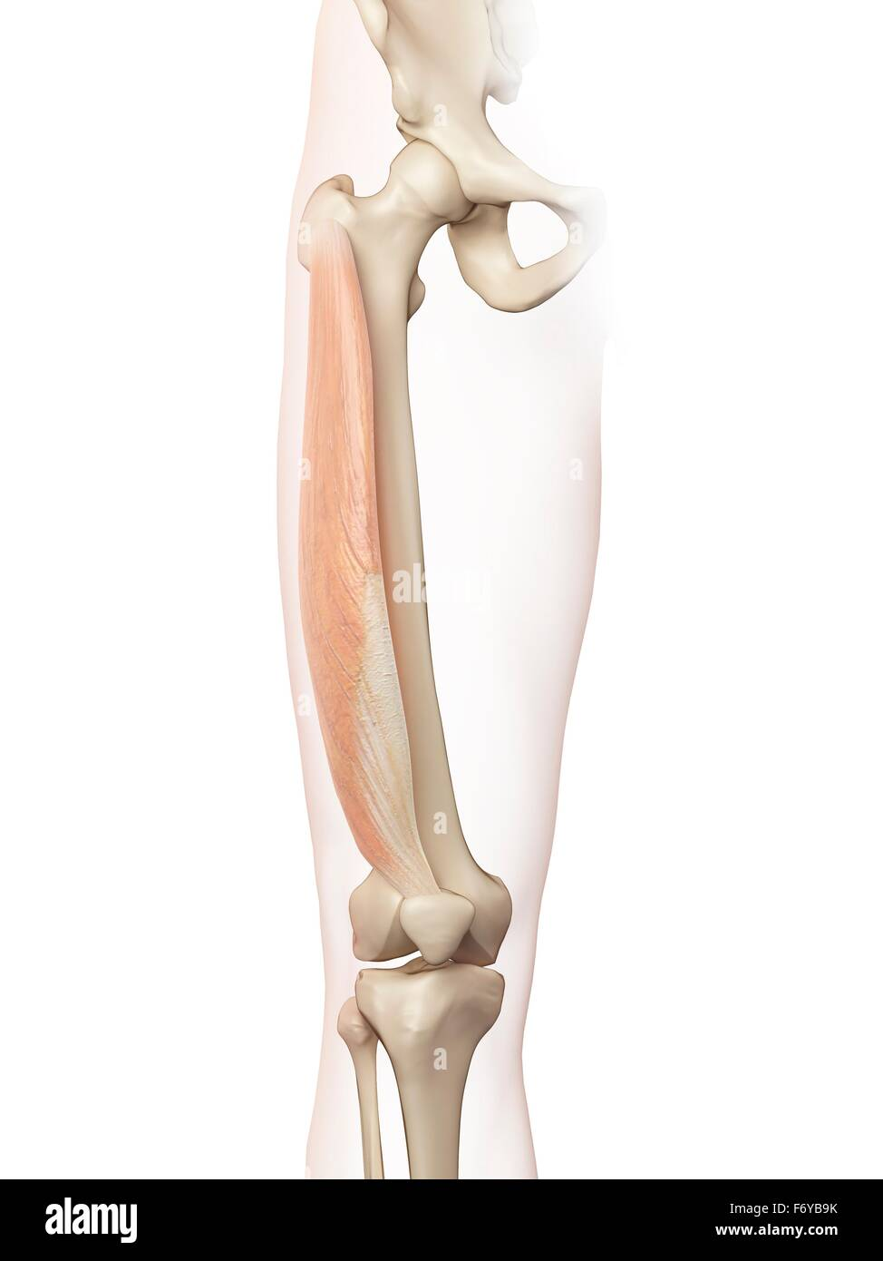 Human Thigh Muscles Computer Illustration Stock Photo 90341375 Alamy