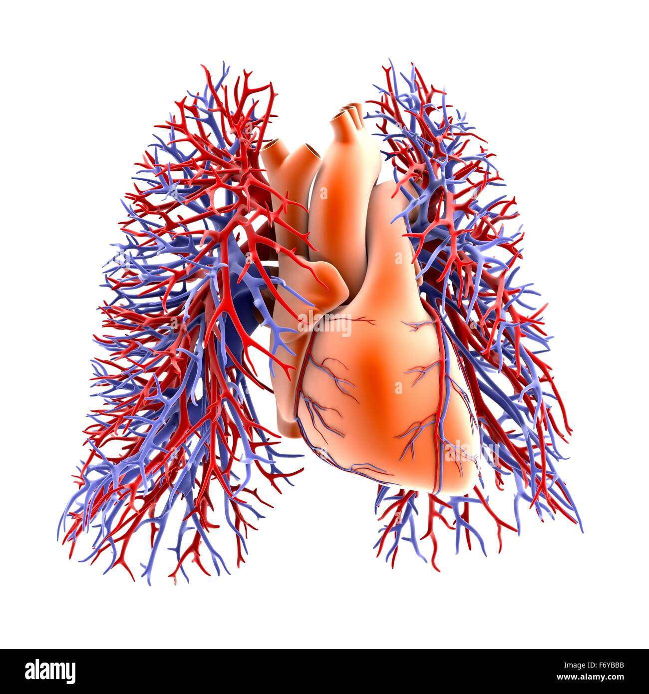 Circulatory system of heart and lungs, computer artwork. The heart ...