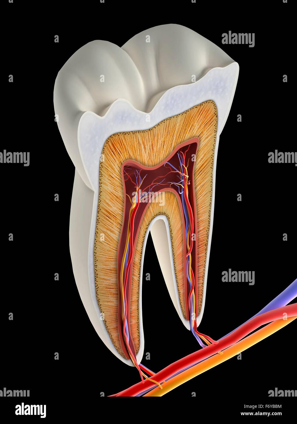 Molar tooth cross-section, artwork. The upper (biting) surfaces of the tooth are at top, with the lower sections - Stock Image