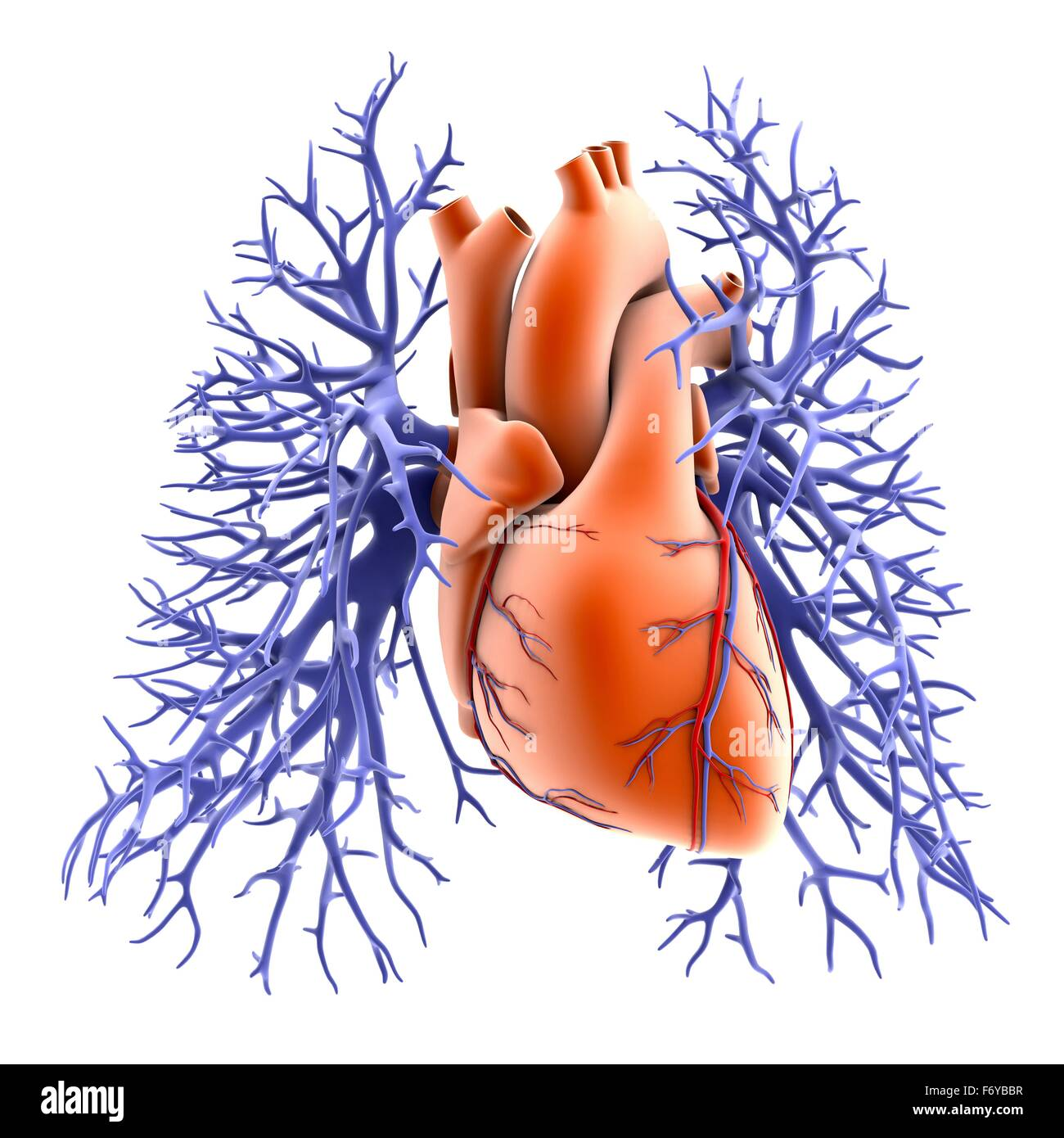 Circulatory System Of Heart And Lungs Computer Artwork The Heart