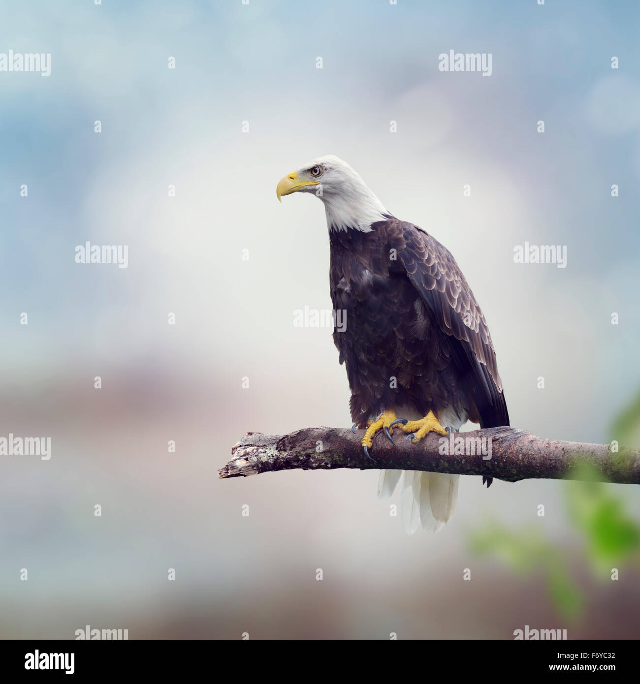 Bald Eagle on a Tree Branch - Stock Image