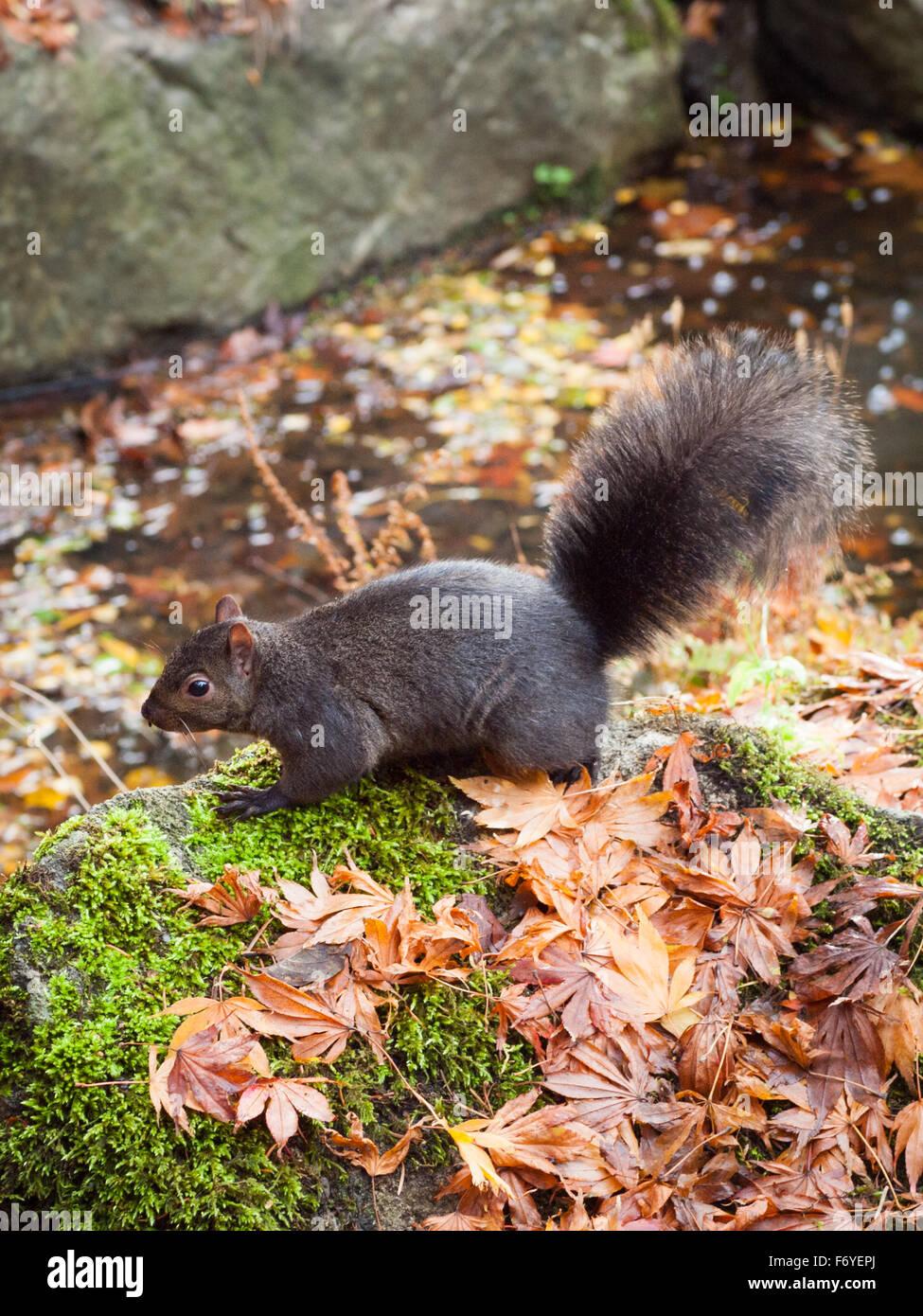 An eastern grey squirrel (Sciurus carolinensis) in Beacon Hill Park in Victoria, British Columbia, Canada. - Stock Image