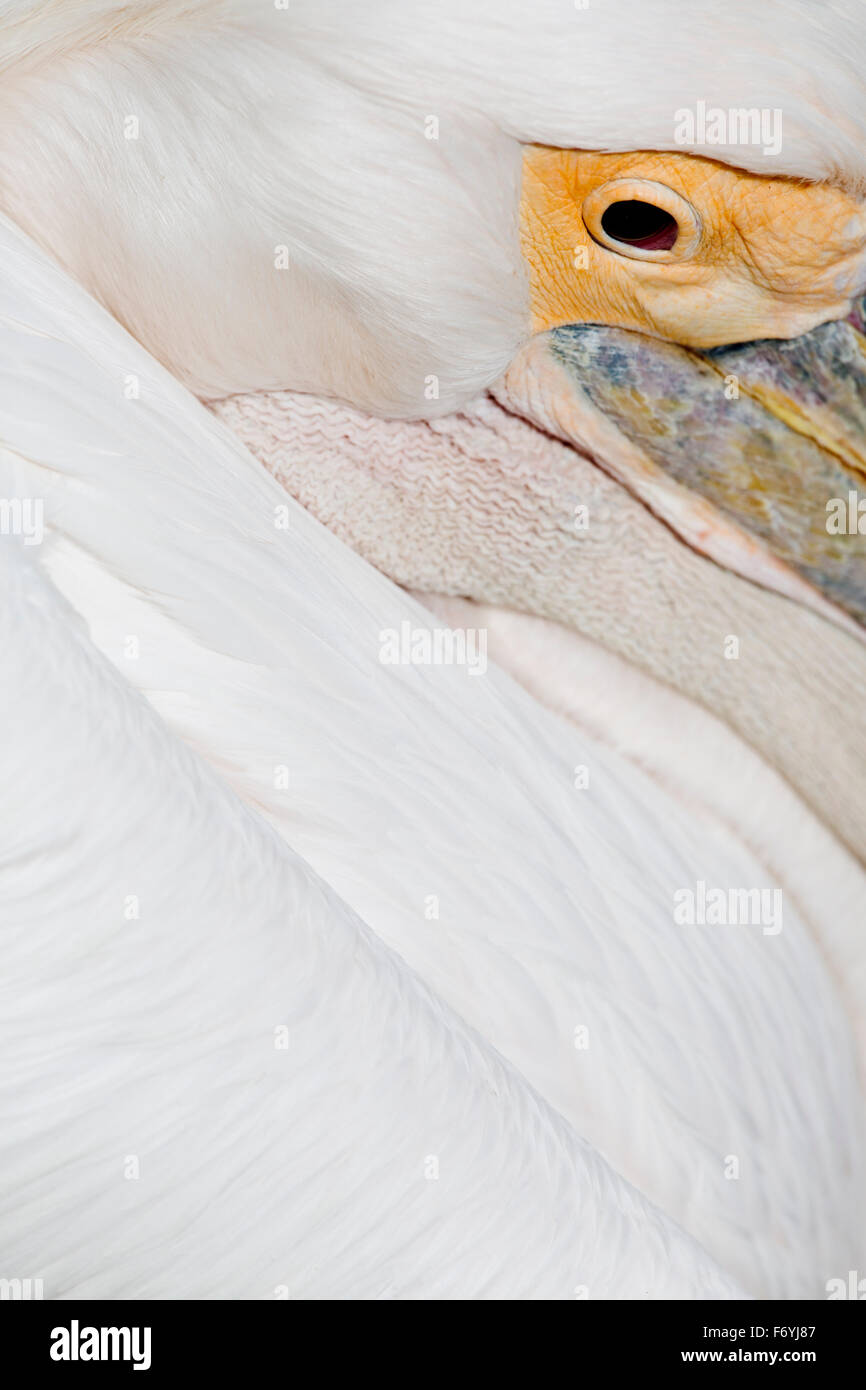 Pelican; Feather Detail; UK - Stock Image