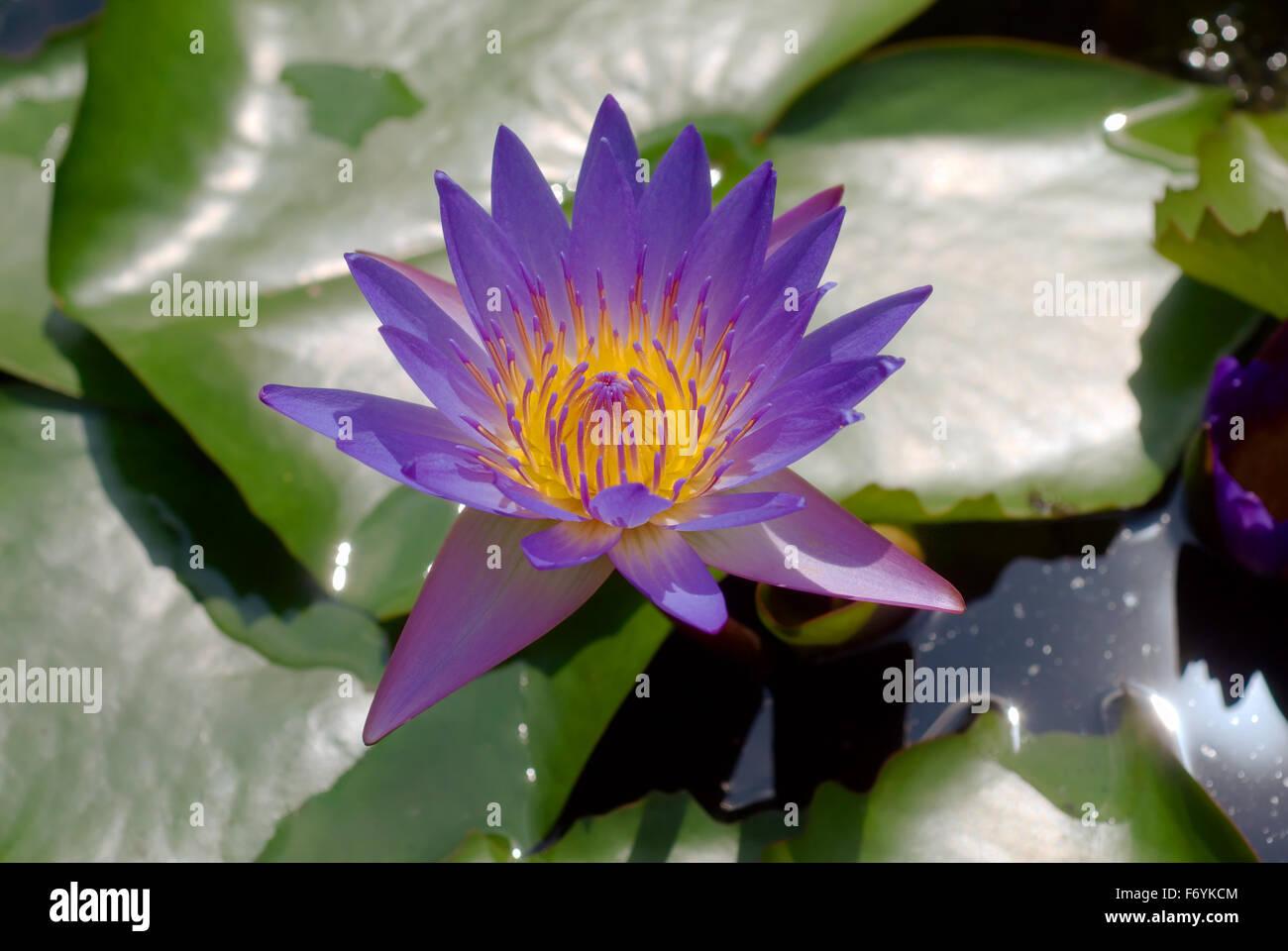 Blue Lotus Water Lily Nymphaea Caerulea Kuala Lumpur Malaysia