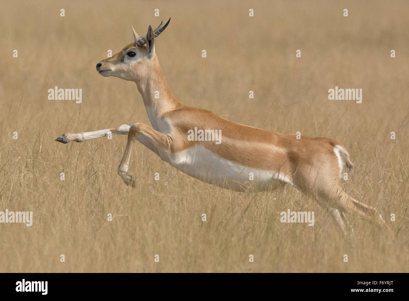 Blackbuck (Antilope cervicapra) leaping at velavadar national park, Gujarat, India - Stock Image