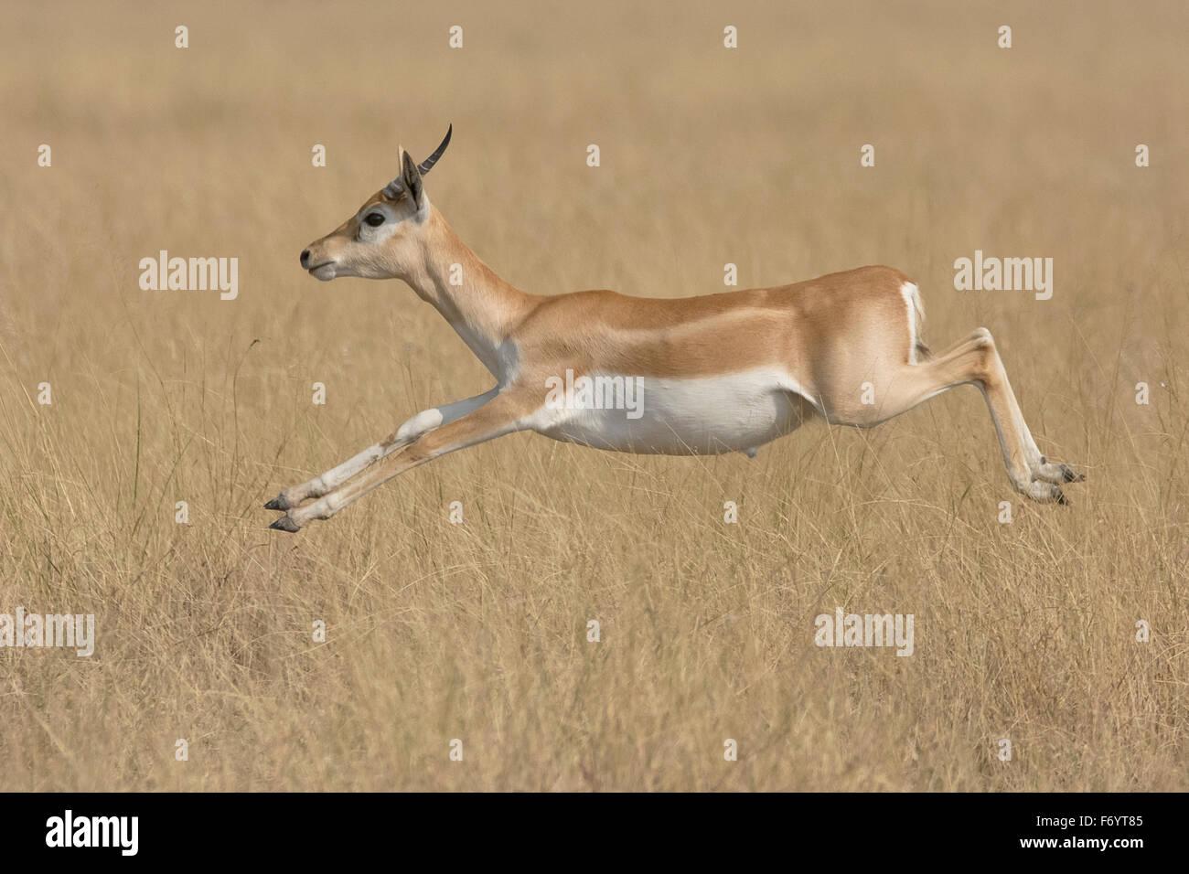 Blackbuck (Antilope cervicapra) leaping at velavadar national park, Gujarat, India - Stock Image