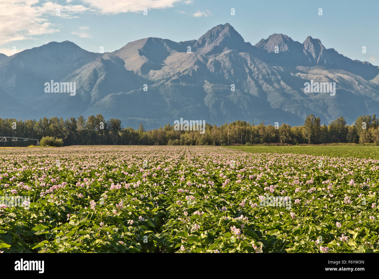 Flowering potato field, Chugach Mountains in the distance. - Stock Image