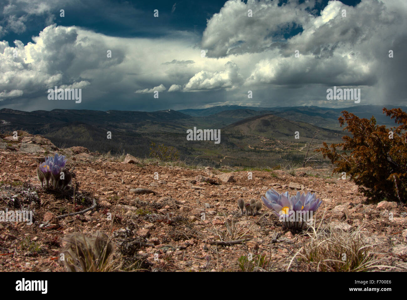 Late May in Arapaho National Forest. High atop a ridge the snowmelt forces up the first flowers of the season. - Stock Image