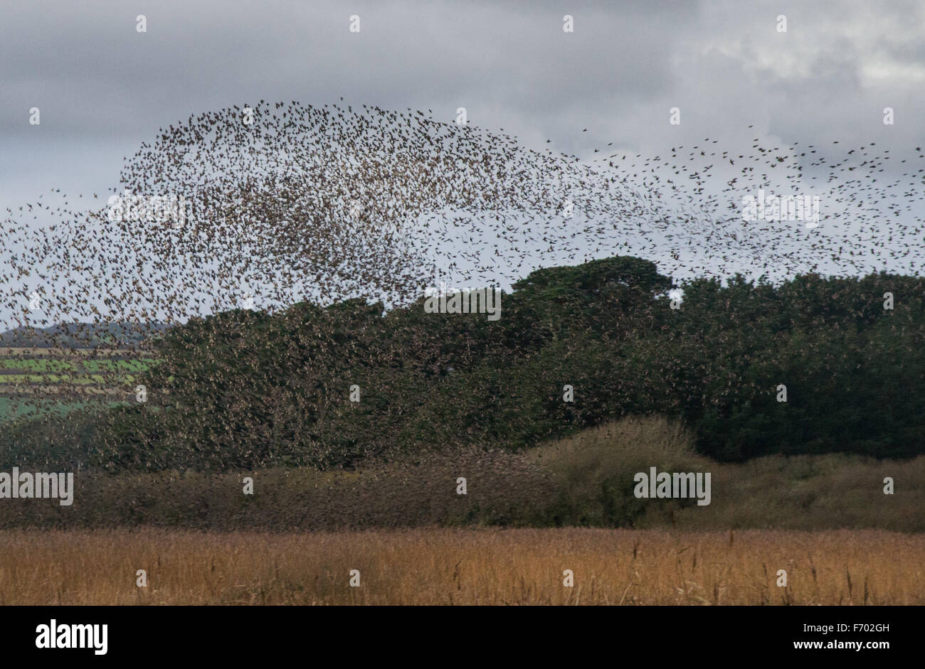 Marazion, Cornwall, UK. 22nd November 2015. Tens of thousands of Starlings coming in to evening roost in the reed - Stock Image
