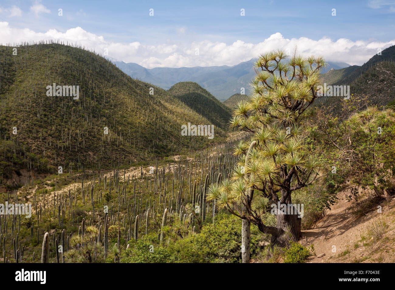Wild Pony Tail Palm in Tehuacan Cuicatlan Reserve, Puebla, Mexico. - Stock Image
