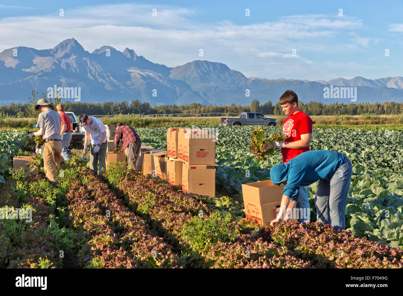 Young farm workers harvesting 'Red Leaf' lettuce, Chugach Mountains in background. - Stock Image