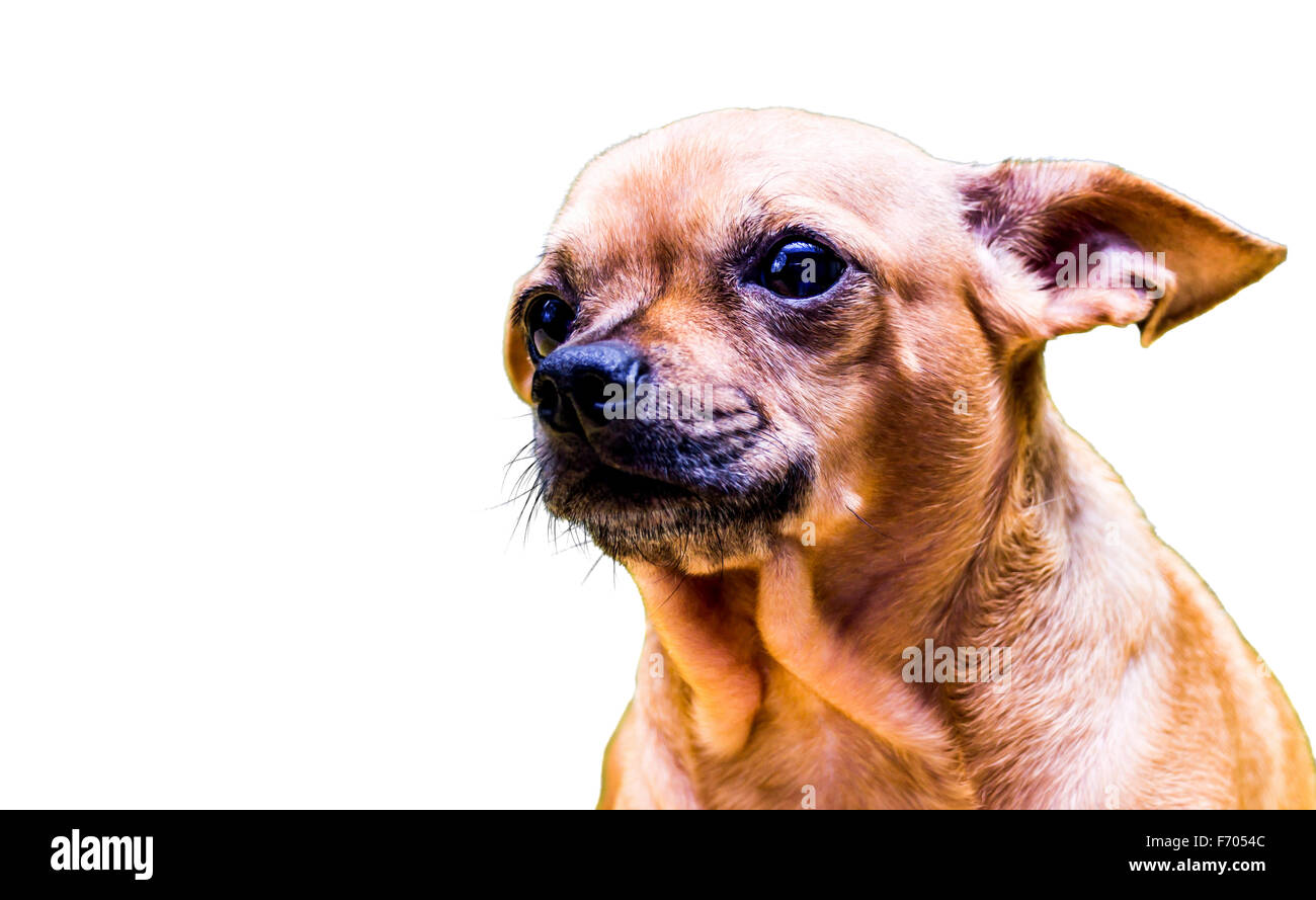 Close up shot of chihuahua dog in front of a white background looking upward to the side - Stock Image