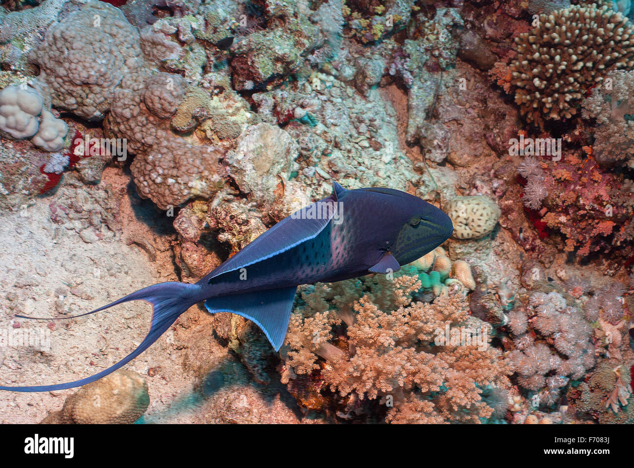 Redtooth Triggerfish, Odonus niger, Balestidae, Red Sea, Sharm el-Sheikh, Egypt - Stock Image