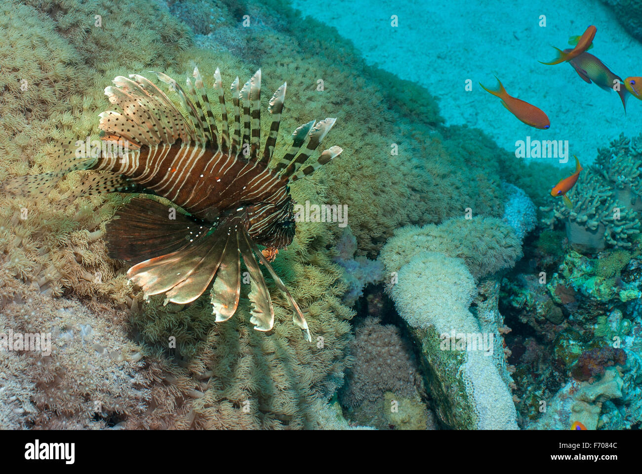 Lionfish, Pterois miles, Scopenidae,  Sharm el Sheikh, Red Sea, Egypt reef fish fishes Roberto Nistri underwater - Stock Image