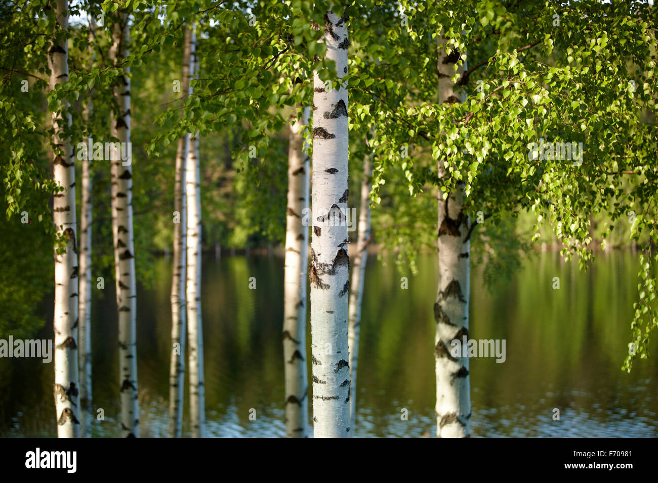 Beautiful birch forest on summer finland Stock Photo