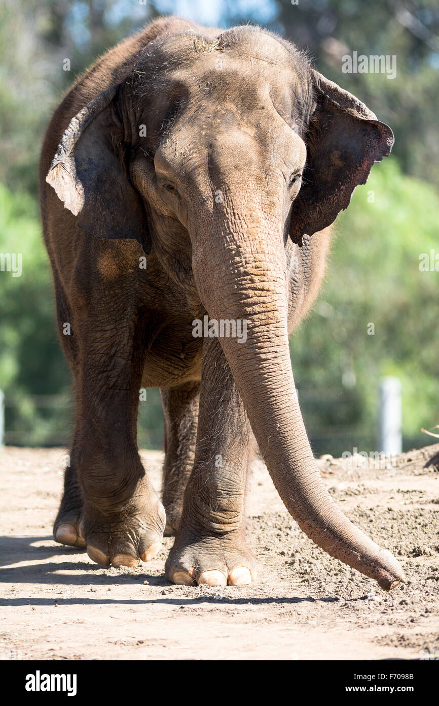 A giant elephant walking on a dirt path towards a watering hole - Stock Image