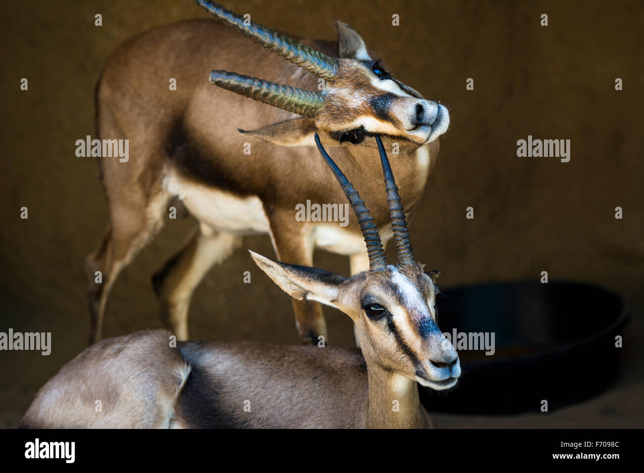 Two gazelles rest in a shaded area while one scratches its chin on the horn of another gazelle. - Stock Image