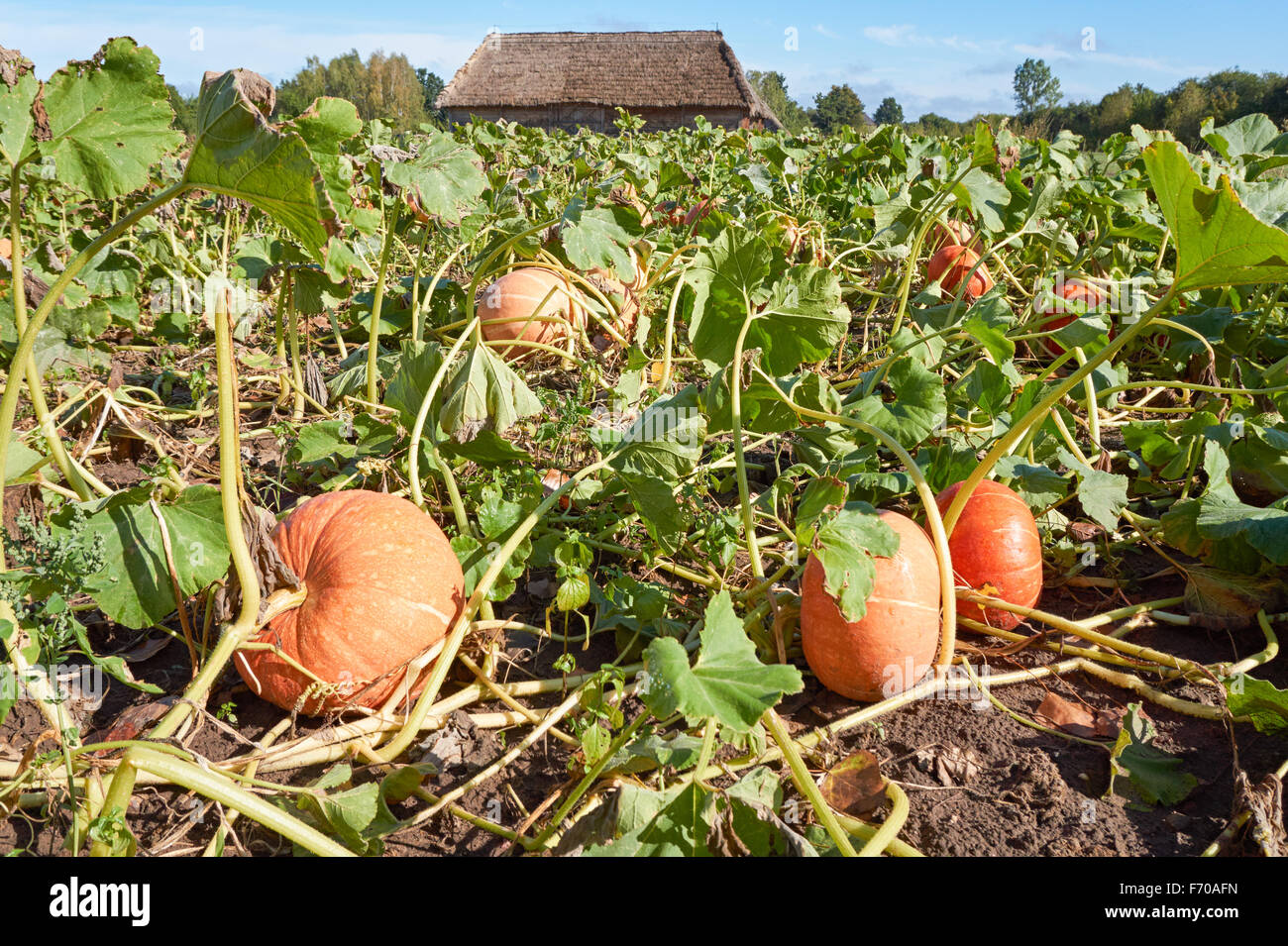 Organic pumpkins growing on the field - Stock Image
