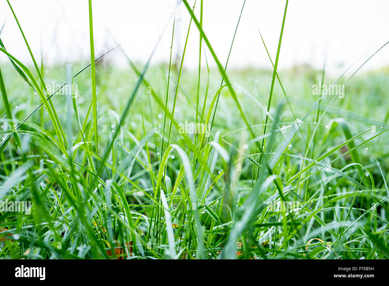 Abtract image of water droplets on blades of greass - Stock Image