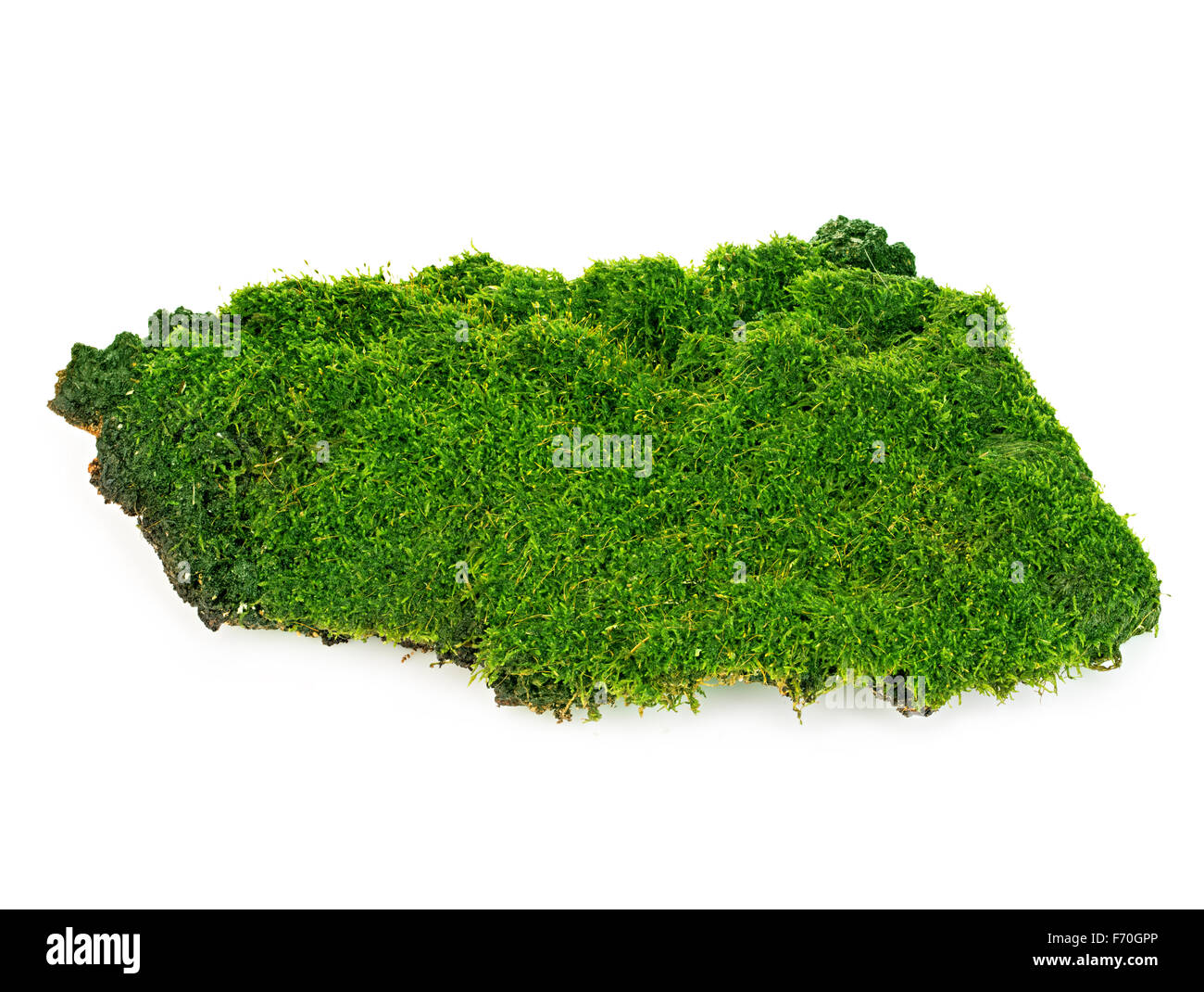 Beautiful green moss close-up isolated on a white background. - Stock Image