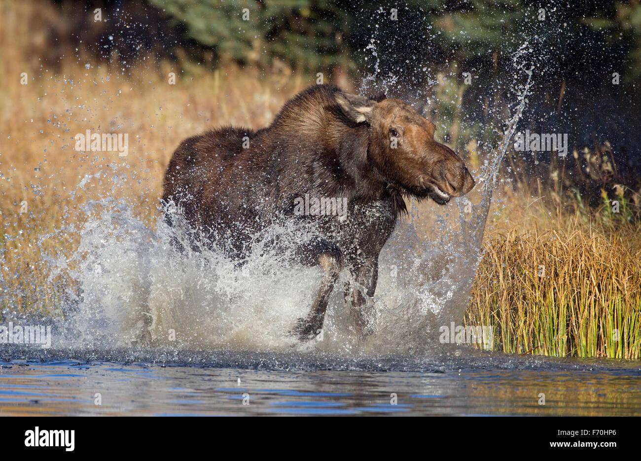 Moose Cow - Stock Image