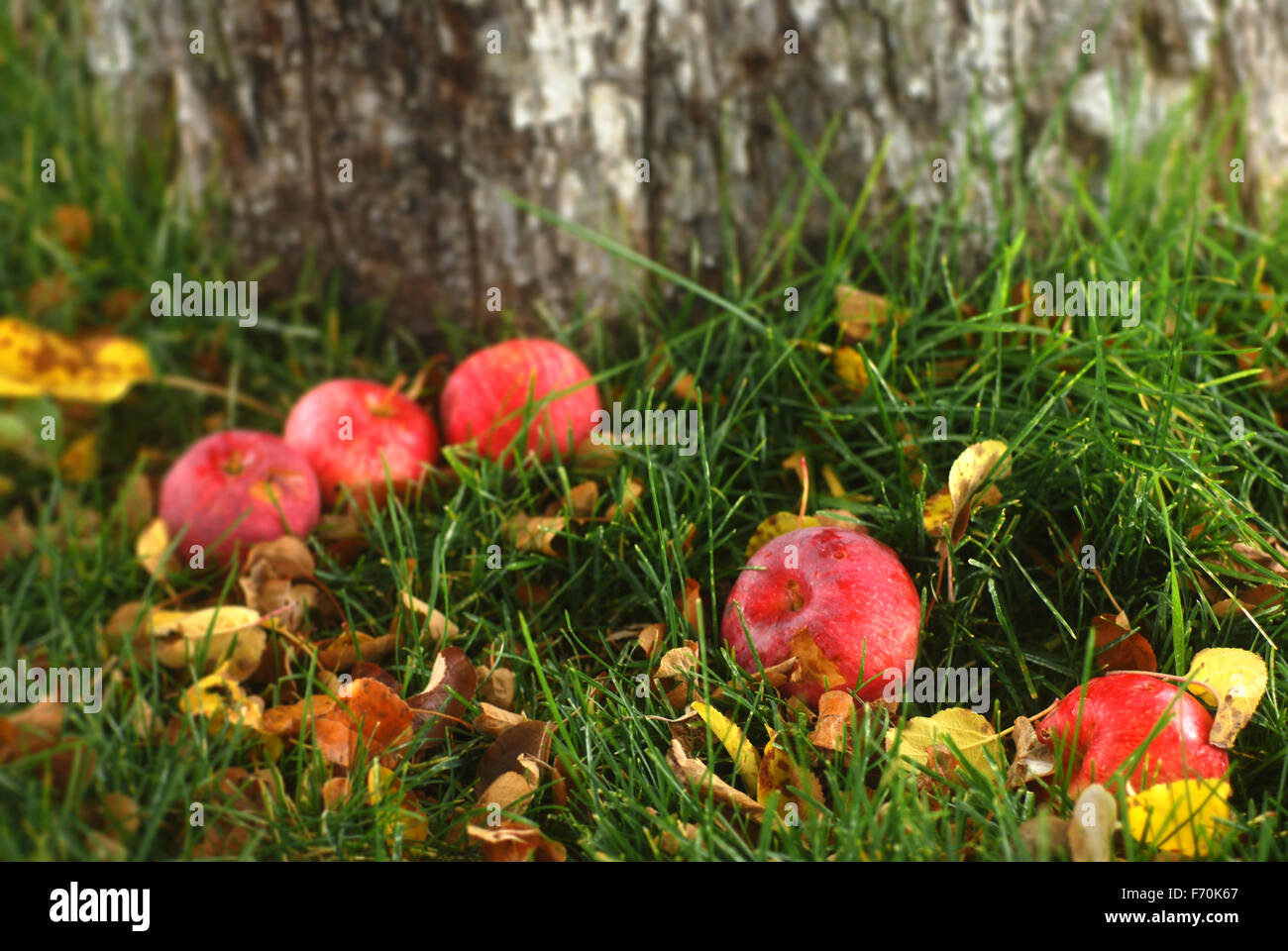Old fallen apples  by an apple tree on autumn leaf covered grass Stock Photo