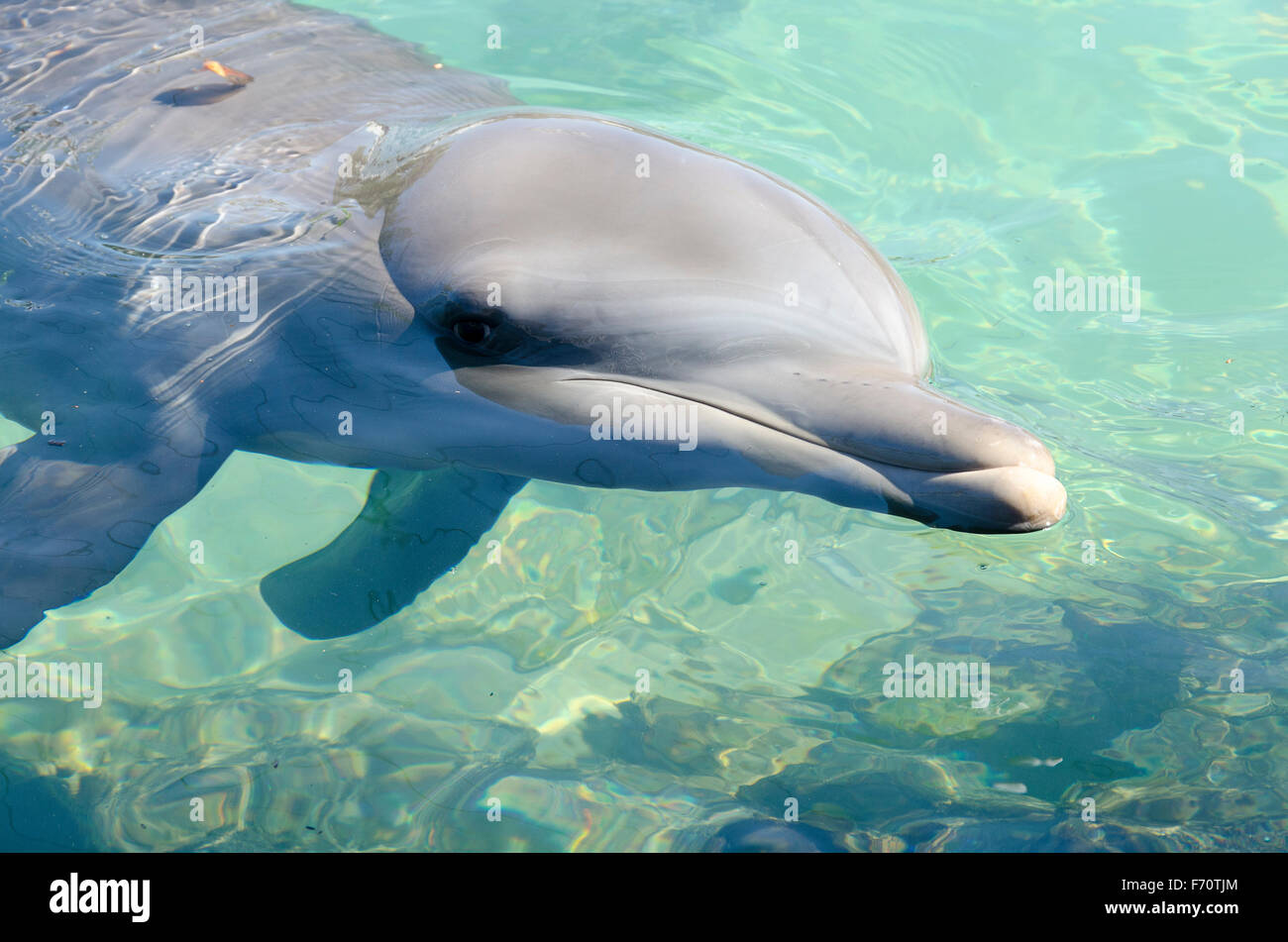 Young dolphin at Sea World, Surfers Paradise, Gold Coast, Queensland, Australia - Stock Image
