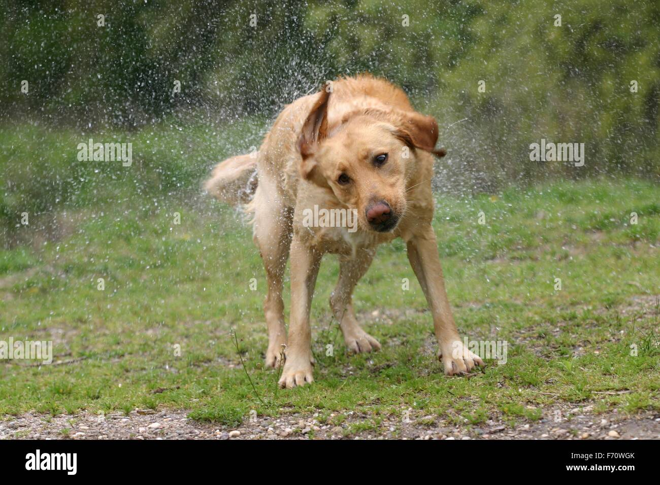 An isolated golden retriever dog shaking of the wet - Stock Image