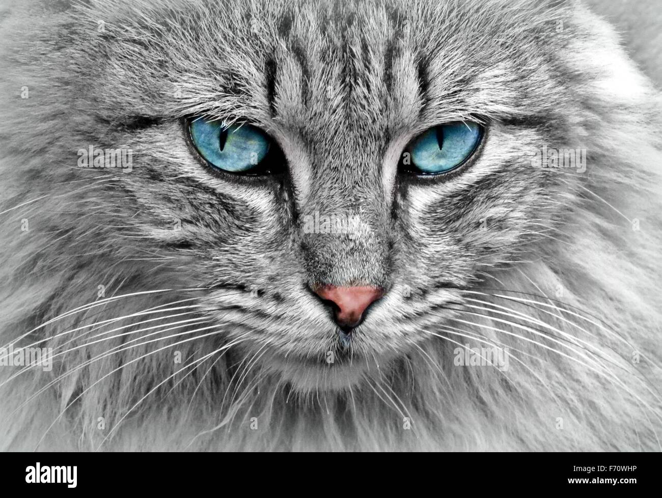 Full frame portrait of a grey tabby cat with blue eyes - Stock Image
