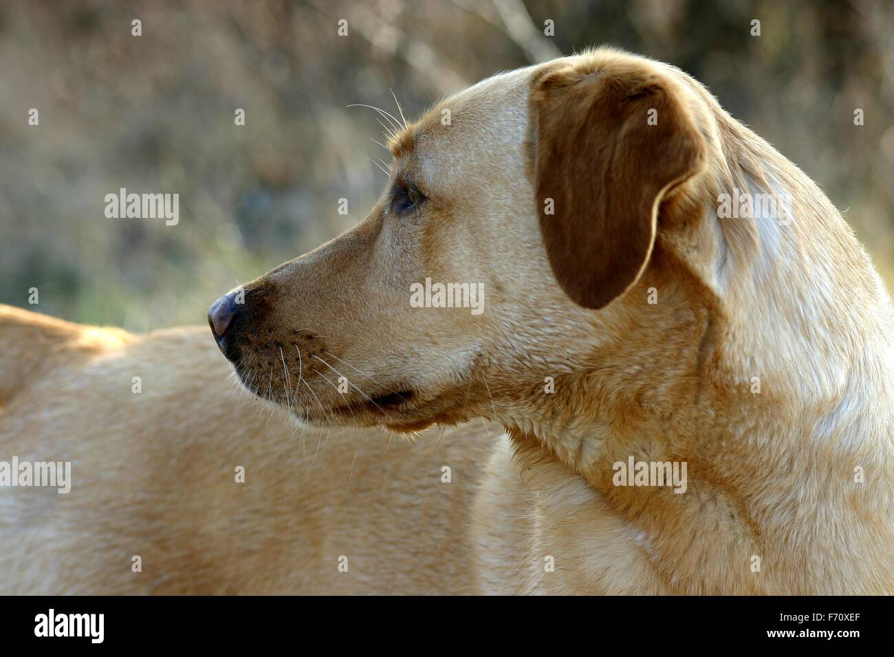 Side view of a Golden Retriever dog - Stock Image