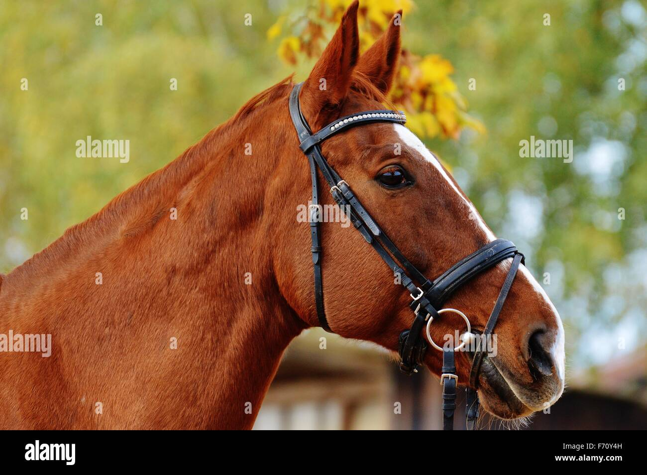 Close Up Side View Of A Brown Horse With Head Gear Stock Photo Alamy