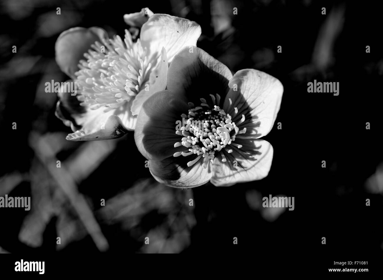 Meadow Buttercup Black And White Stock Photos Images Alamy