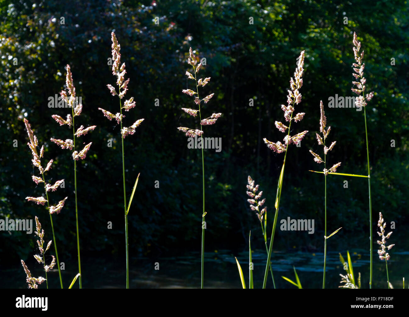 Backlit view of grass stems growing in summer against a dark background - Stock Image