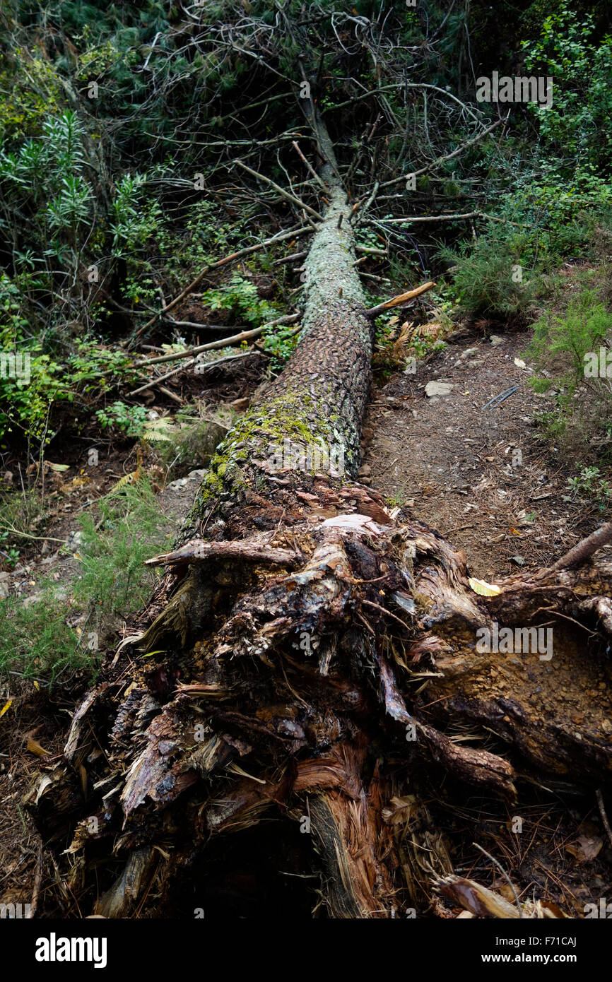 Uprooted Aleppo pine, Pinus halepensis, fallen in forest. Spain - Stock Image