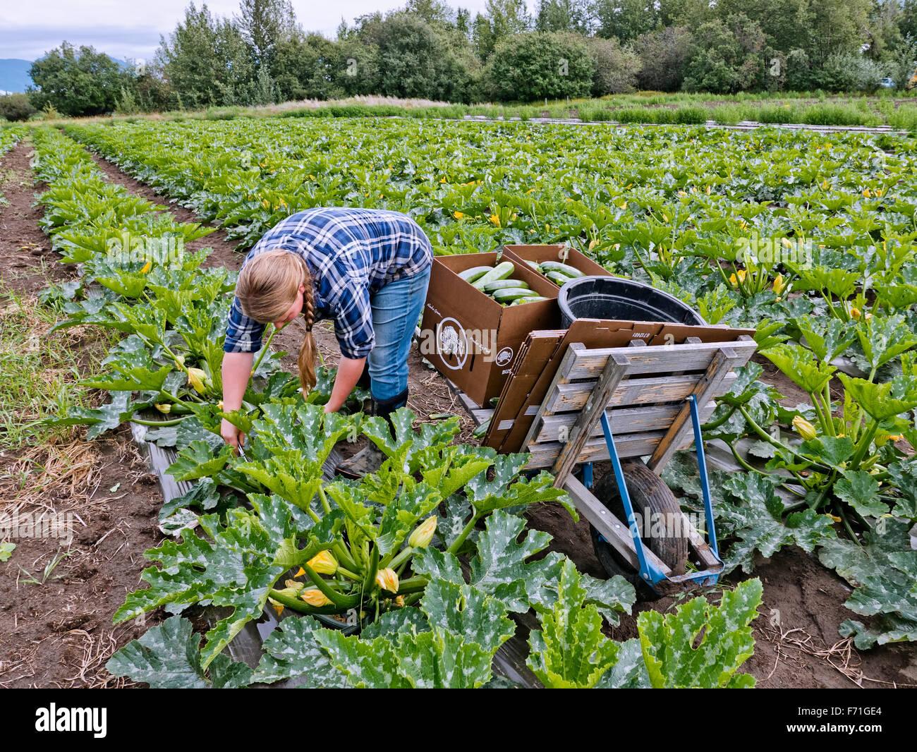 Farmer harvesting mature zucchini vegetable. - Stock Image