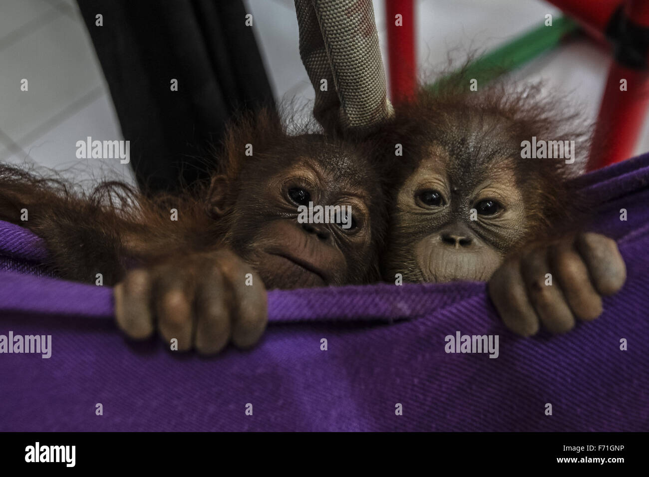North Sumatra, Indonesia. 23rd Nov, 2015. Photo taken on Nov. 23, 2015 shows two baby orangutans waiting for medical - Stock Image
