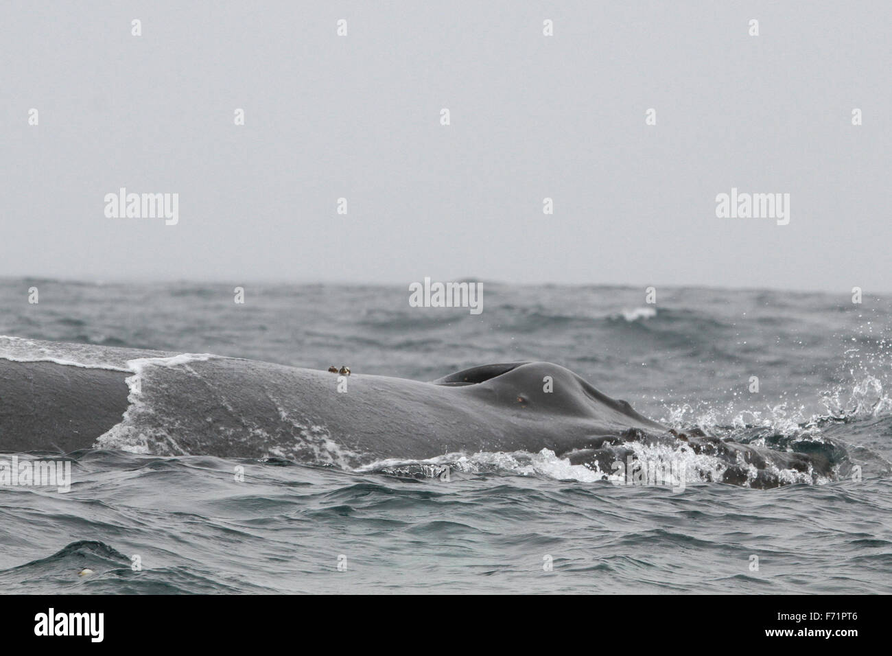Humpback Whale off the Farallon Islands Stock Photo
