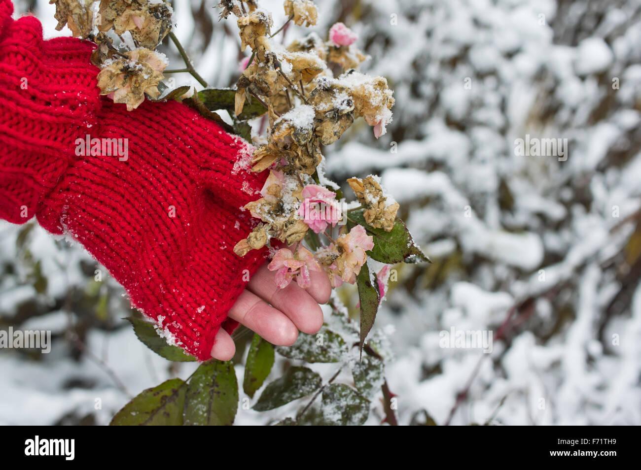 Frozen Roses Bush - Stock Image